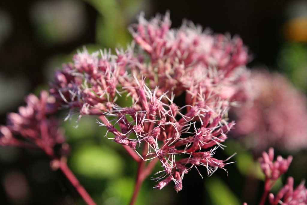Last bloom on the Joe Pye Weed
