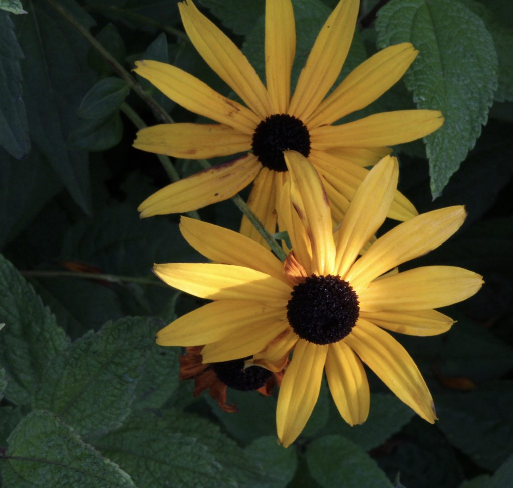Fall light on the black-eyed susans
